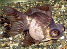 パンダ金魚写真