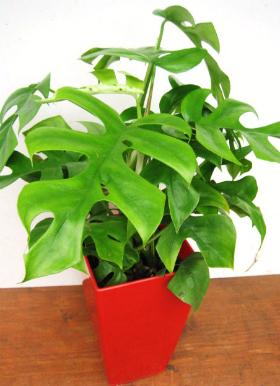 姫モンステラ(観葉植物)写真