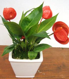 姫アンスリューム(観葉植物)写真