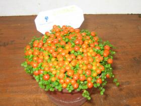 苔サンゴ(観葉植物)写真